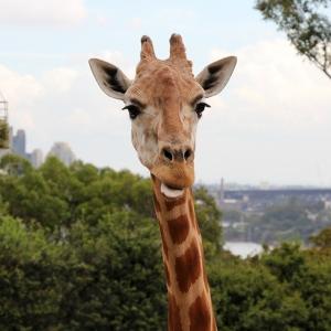 australia_sydney_zoogiraffe_web