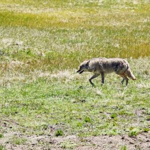 yosemite_coyote_webready